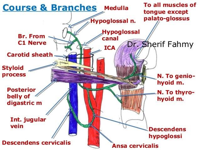 Last 4 Cranial Nerves (Anatomy of the Neck)