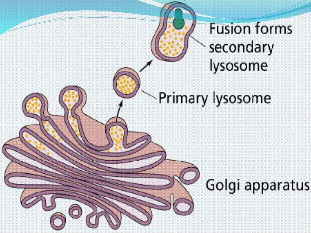 what is the function of golgi vesicles