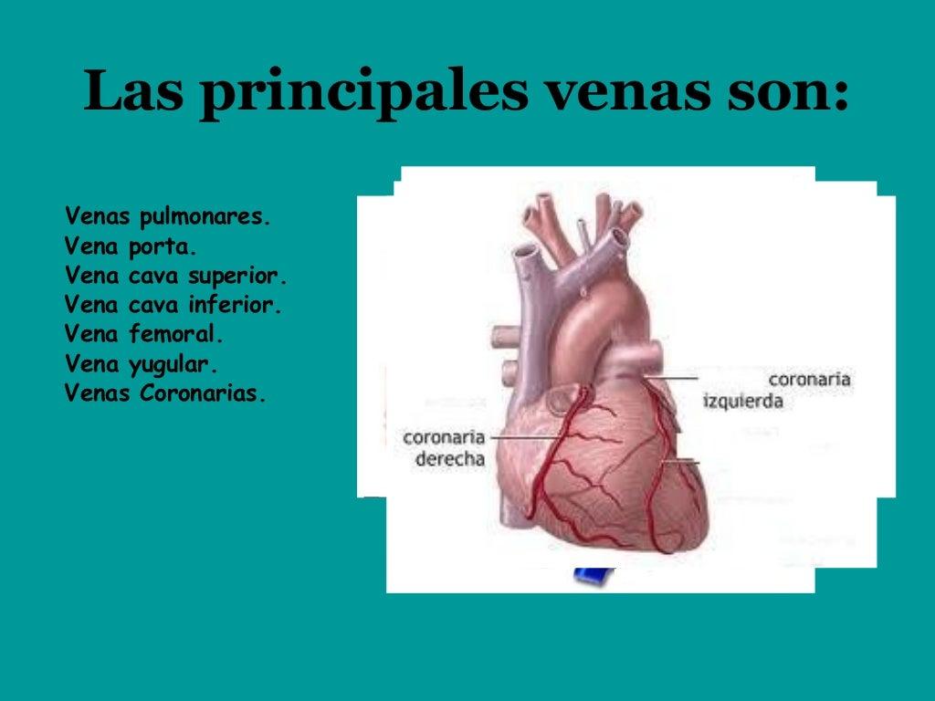Las venas y arterias del cuerpo humano
