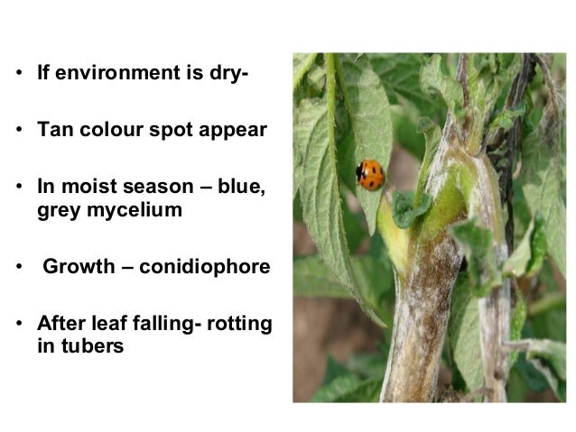 • If environment is dry- • Tan colour spot appear • In moist season – blue, grey mycelium • Growth – conidiophore • After ...