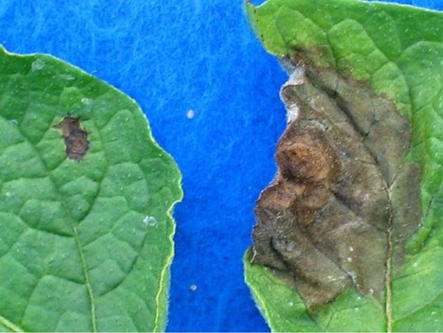 Sporangia of P. infestans