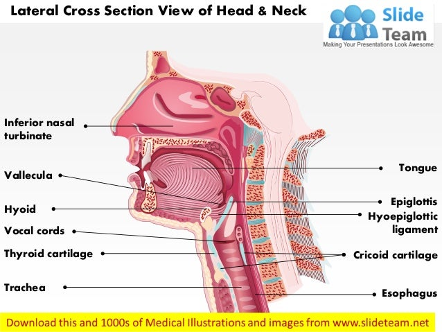 Lateral Cross Sectional View Of Head And Neck Laryngeal