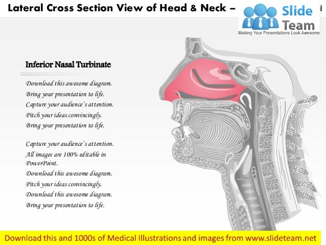 Lateral cross sectional view of head and neck laryngeal ...