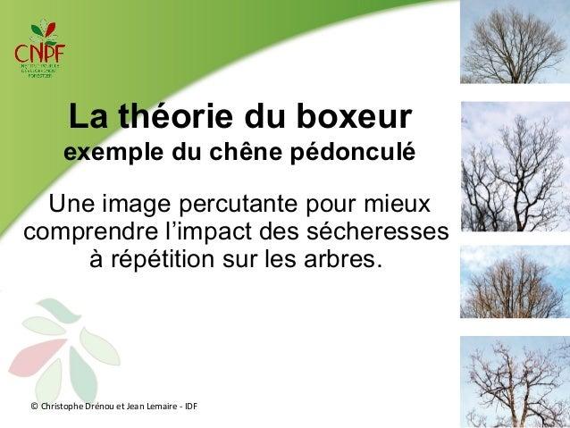La théorie du boxeur  exemple du chêne pédonculé  Une image percutante pour mieux  comprendre l'impact des sécheresses  à ...