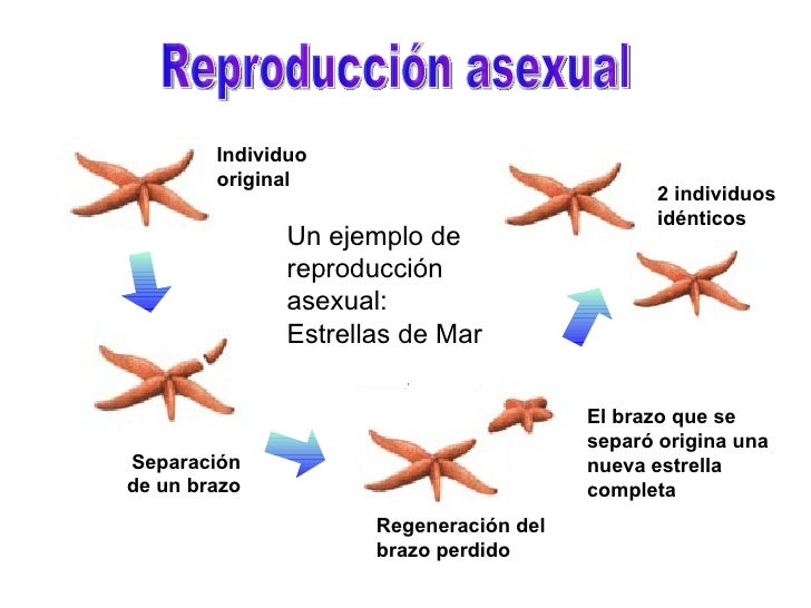 Caballitos de mar reproduccion asexual