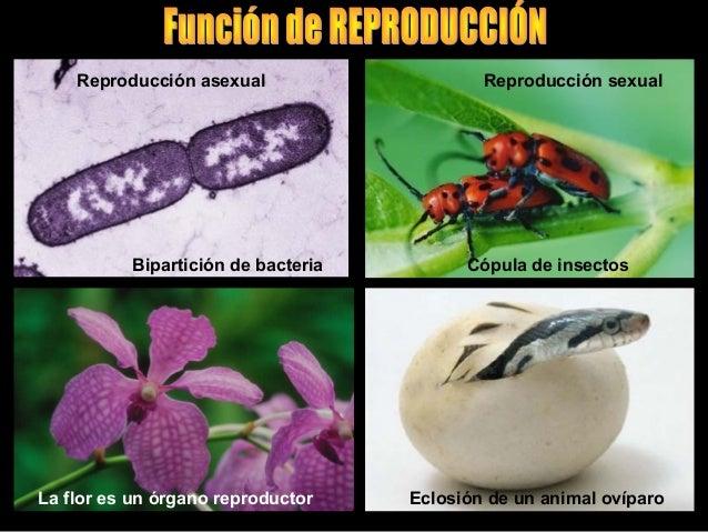 Triton gallipato reproduccion asexual de las plantas