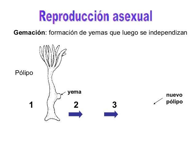 Pato cuchara reproduccion asexual