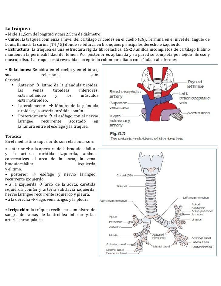anatomia tráquea