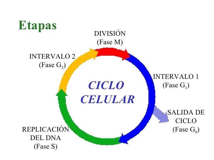 CICLO  CELULAR Etapas DIVISIÓN (Fase M) REPLICACIÓN DEL DNA (Fase S) SALIDA DE CICLO (Fase G 0 ) INTERVALO 1 (Fase G 1 ) I...