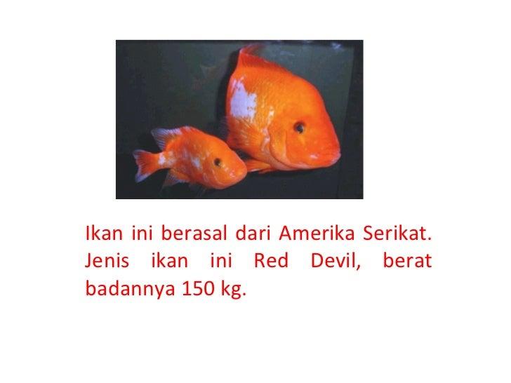 Ikan ini berasal dari Amerika Serikat. Jenis ikan ini Red Devil, berat badannya 150 kg.