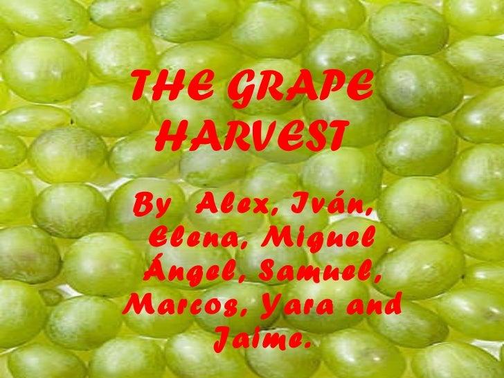 THE GRAPE HARVEST By  Alex, Iván, Elena, Miguel Ángel, Samuel, Marcos, Yara and Jaime.