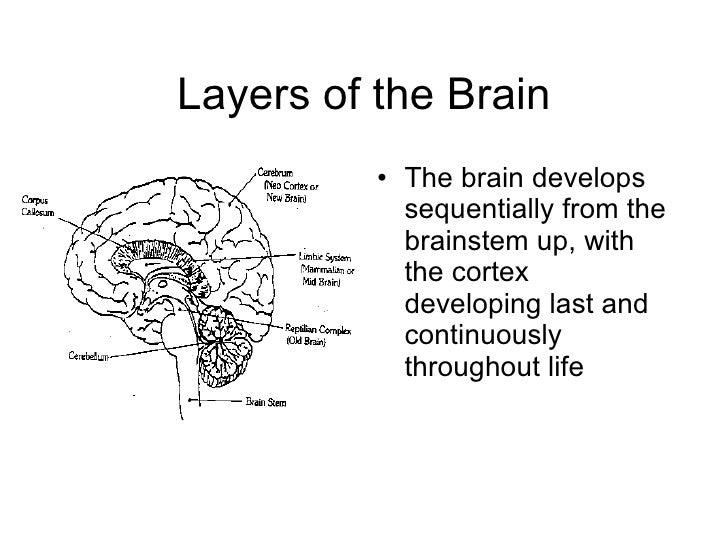 Layers of the Brain <ul><li>The brain develops sequentially from the brainstem up, with the cortex developing last and con...