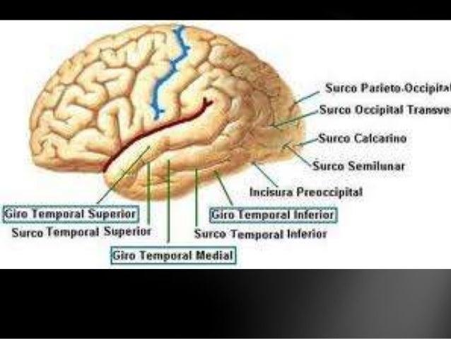 Caracteristicas Principales Del Lobulo Temporal | Deepthroaters