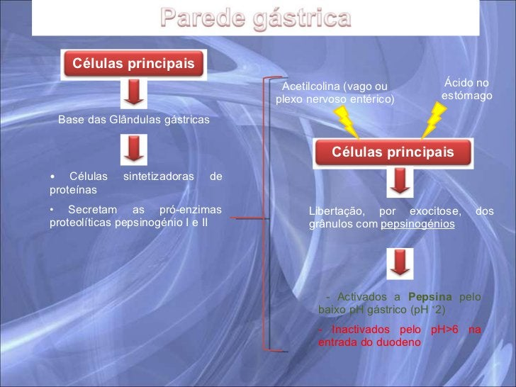 Base das Glândulas gástricas <ul><li>Células sintetizadoras de proteínas </li></ul><ul><li>Secretam as pró-enzimas proteol...