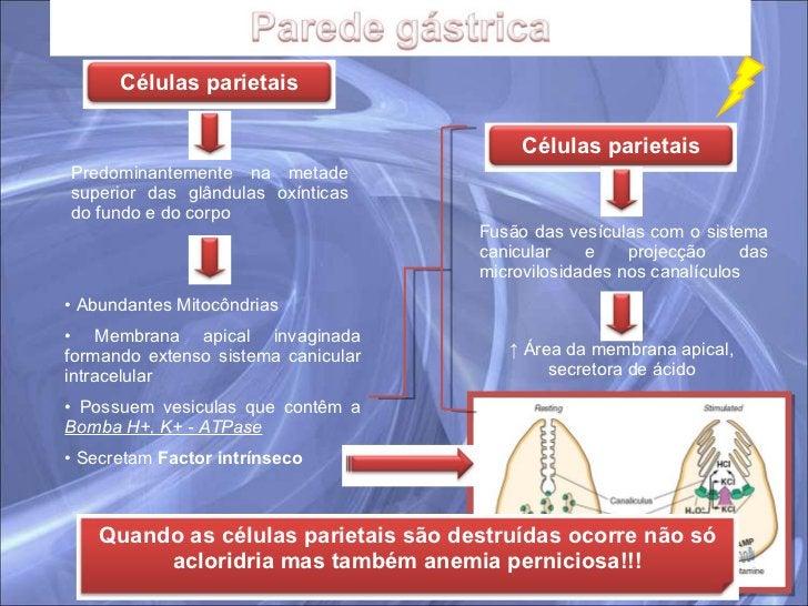 Predominantemente na metade superior das glândulas oxínticas do fundo e do corpo <ul><li>Abundantes Mitocôndrias </li></ul...