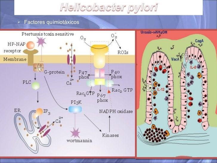 <ul><ul><li>Factores quimiotáxicos </li></ul></ul>