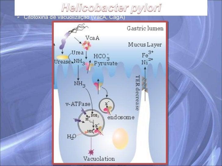 <ul><ul><li>Citotoxina de vacuolização (VacA, CagA) </li></ul></ul>