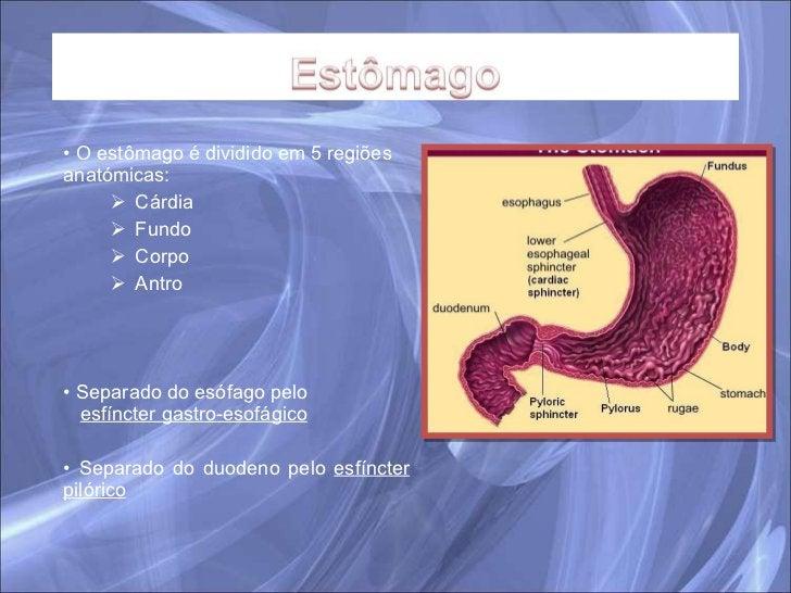 <ul><li>O estômago é dividido em 5 regiões anatómicas: </li></ul><ul><ul><li>Cárdia </li></ul></ul><ul><ul><li>Fundo </li>...
