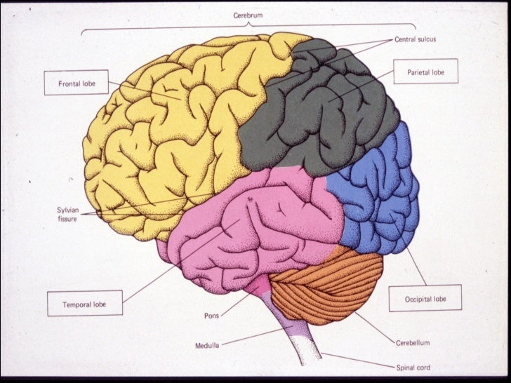 Protection of the brainMain components of brain protection:Skull, meninges and cerebrospinal fluidThree layers of meninges...