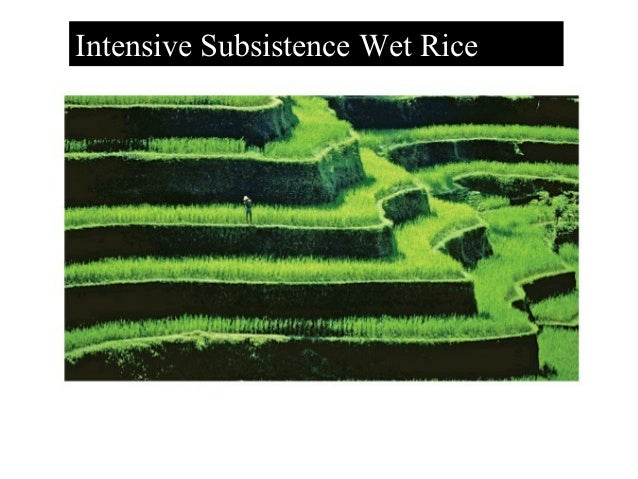 the importance of rice as an essential grain in china and india Majorcerealgrainsproductionanduse aroundtheworld strips the grains of important nutrients beneficialto health rice(milled) china 137 311 66 india 89 202 30.