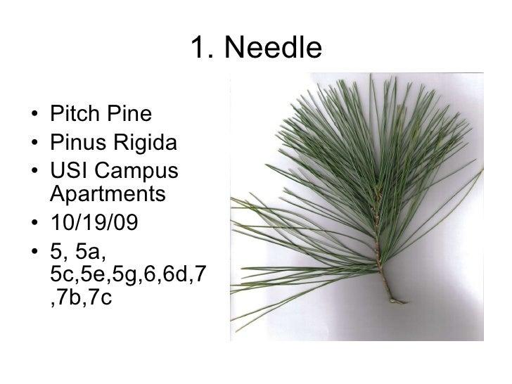 1. Needle <ul><li>Pitch Pine </li></ul><ul><li>Pinus Rigida </li></ul><ul><li>USI Campus Apartments </li></ul><ul><li>10/1...