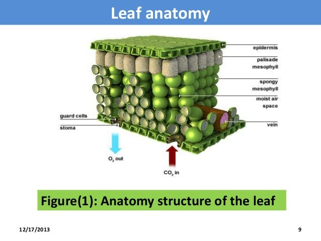Anatomy of dorsiventral (dicotyledonous) leaf | Sciencetopia
