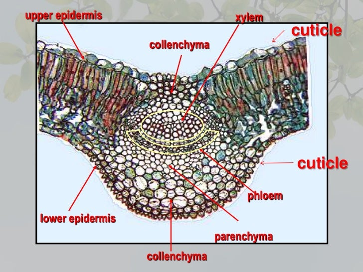Leaf Anatomy Xylem And Phloem In Plants