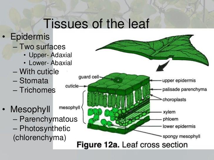 leaf anatomy - Gecce.tackletarts.co