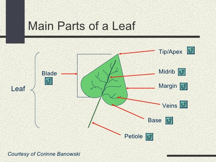 Leaf Anatomy