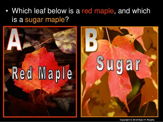 • Which leaf below is a red maple, and which is a sugar maple? Copyright © 2010 Ryan P. Murphy
