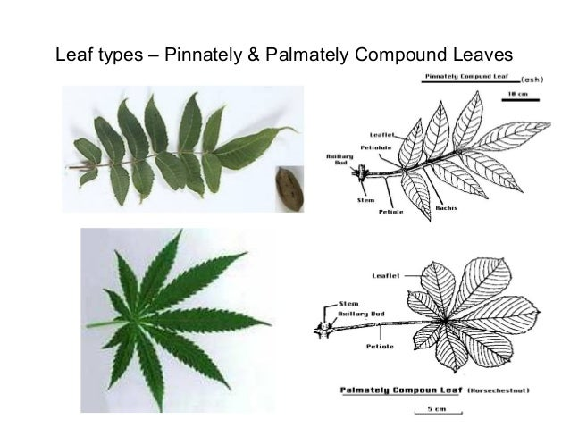 Leaf Types Pinnately Palmately Compound Leaves