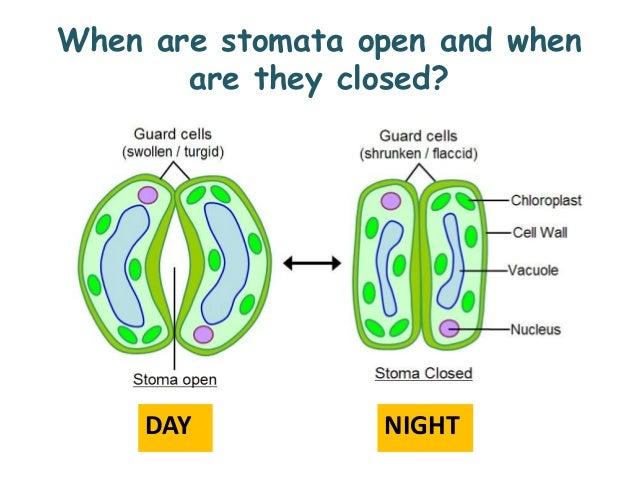 Stomata Diagram Related Keywords Suggestions Long Tail Keywords