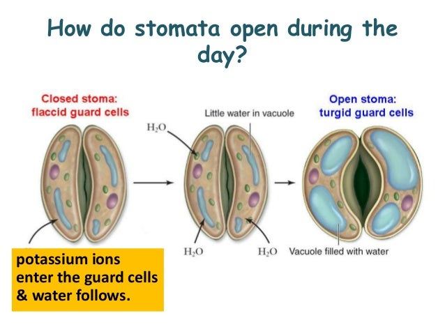 stomata structure and functions The epidermis is the protective outer layer of clonally related cells covering all plant organs.