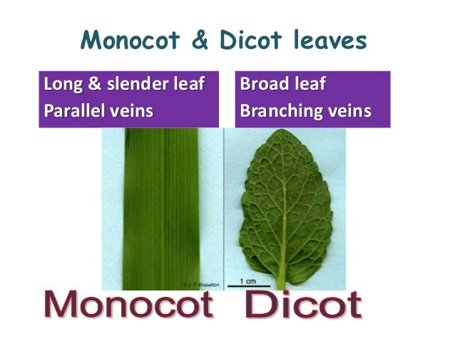 internal structure of a monocot Difference between monocot and aside from the difference between the seeds of monocots and dicots there are other different structures that separate monocots and.