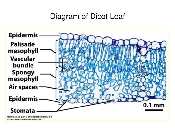 Dicot Leaf Anatomy Images Human Body Anatomy