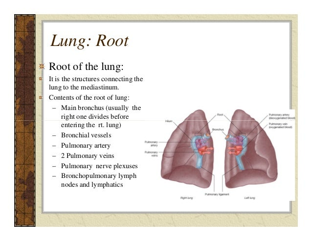 Lec8 Lungs Ptrc on pleura parietal visceral and