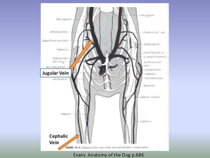 Canine Jugular Vein Diagram - Block And Schematic Diagrams •