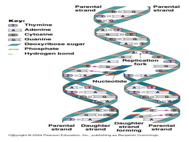 dna structure and replication Video computer games, virtual labs and activities for learning and reviewing biology content great for students and teachers.