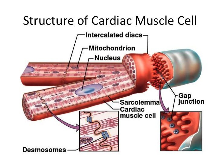 branched cardiac muscle fiber - photo #21