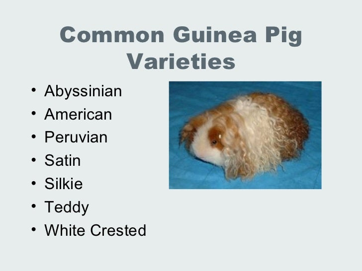 cephalic vein guinea pig – applecool, Cephalic vein