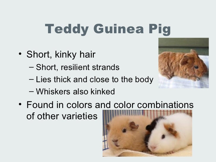 lec 19 20 lab animal rabbits and guinea pigs, Cephalic vein
