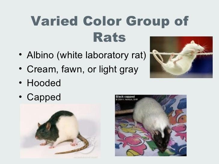 Lec 19 20 Lab Animal Rats Mice