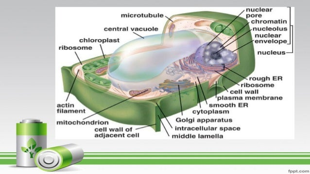 cells lec This video describes the anatomy of the cochlea, inner and outer hair cells as well as ohc electromotility and otoacoustic emissions.