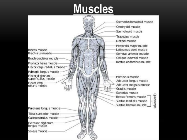 Introduction to Anatomy (Muscular System)