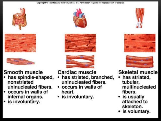 introduction to anatomy (muscular system), Muscles