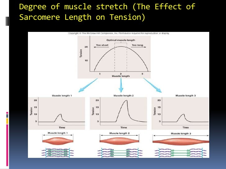 Degree of muscle stretch (The Effect of Sarcomere Length on Tension)<br />