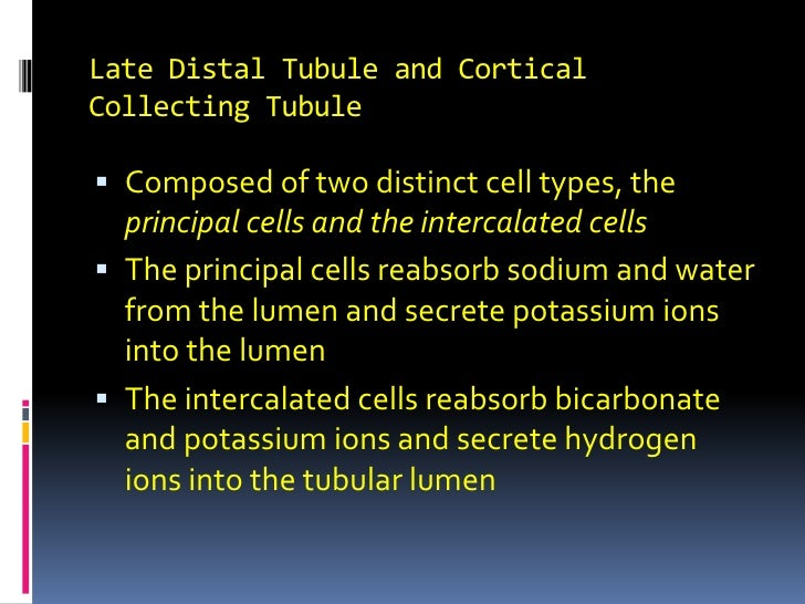 Late Distal Tubule and Cortical Collecting Tubule<br />Composed of two distinct cell types, the principal cells and the in...