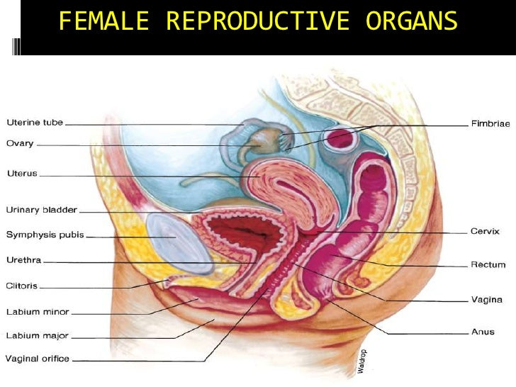 Lec63 Reproductive System Female