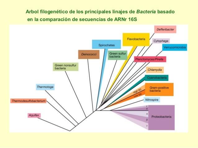 Arbol filogenético de los principales linajes de Bacteria basado en la comparación de secuencias de ARNr 16S