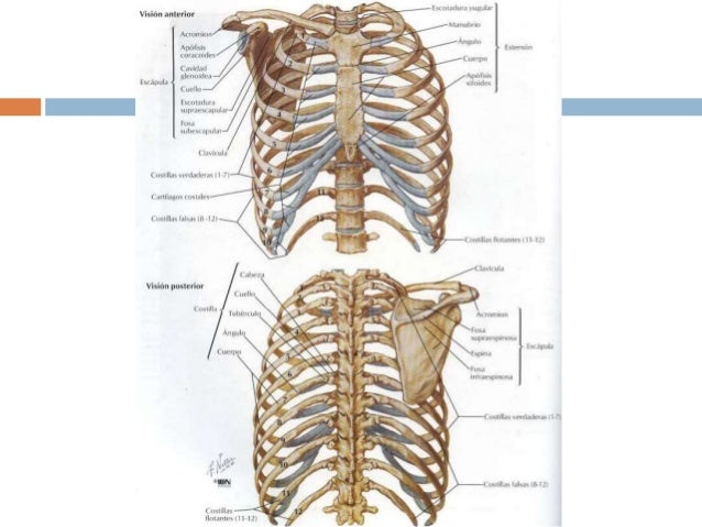 Leccion de anatomia torax